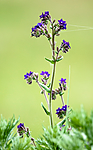 BB 11 0418 / Anchusa officinalis / Oksetunge