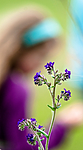 BB 11 0419 / Anchusa officinalis / Oksetunge