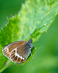 BB 14 0146 / Coenonympha hero / Heroringvinge