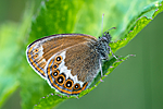 BB 14 0147 / Coenonympha hero / Heroringvinge