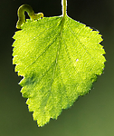 BB_20160304_0189 / Betula pubescens / Bjørk <br /> Betula pubescens tortuosa / Fjellbjørk <br /> Epirrita autumnata / Fjellbjørkemåler
