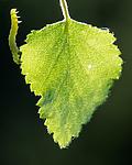 BB_20160304_0278 / Betula pubescens / Bjørk <br /> Betula pubescens tortuosa / Fjellbjørk <br /> Epirrita autumnata / Fjellbjørkemåler