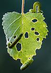BB_20160304_0312 / Betula pubescens / Bjørk <br /> Betula pubescens tortuosa / Fjellbjørk <br /> Epirrita autumnata / Fjellbjørkemåler