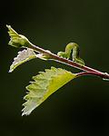 BB_20160304_0521 / Betula pubescens / Bjørk <br /> Betula pubescens tortuosa / Fjellbjørk <br /> Epirrita autumnata / Fjellbjørkemåler