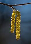BB_20160319_0175 / Corylus avellana / Hassel