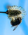 BB_20160419_0294 / Bombus lucorum / Lys jordhumle <br /> Salix caprea / Selje
