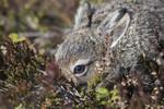 BB_20160517_0221 / Calluna vulgaris / Røsslyng <br /> Lepus timidus / Hare
