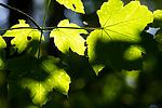 BB_20160525_0144 / Acer pseudoplatanus / Platanlønn
