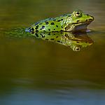 BB_20160604_1576 / Pelophylax esculentus / Hybridfrosk