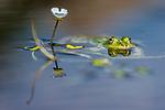 BB_20160604_1609 / Pelophylax esculentus / Hybridfrosk <br /> Ranunculus peltatus / Storvassoleie