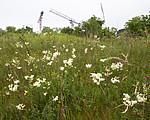 BB_20160617_0005 / Filipendula vulgaris / Knollmjødurt <br /> Lotus corniculatus / Tiriltunge <br /> Trifolium medium / Skogkløver