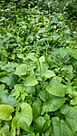 BB_20160624_0052 / Cicerbita macrophylla / Kjempeturt <br /> Cicerbita macrophylla uralensis / Kjempeturt