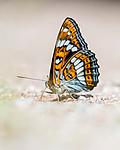 BB_20160628_0642 / Limenitis populi / Ospesommerfugl