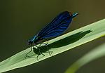 BB_20160628_0791 / Calopteryx virgo / Blåvingevannymfe