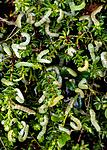 BB_20160701_0001 / Empetrum nigrum / Krekling <br /> Epirrita autumnata / Fjellbjørkemåler <br /> Vaccinium myrtillus / Blåbær