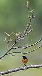 BB_20160703_0045 / Betula pubescens / Bjørk <br /> Phoenicurus phoenicurus / Rødstjert