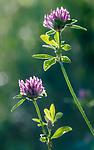 BB_20160709_0039 / Trifolium medium / Skogkløver
