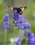 BB_20160709_0077 / Aglais urticae / Neslesommerfugl <br /> Lavandula angustifolia / Lavendel