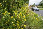 BB_20160710_0009 / Trifolium aureum / Gullkløver