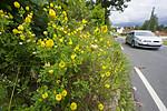 BB_20160710_0052 / Trifolium aureum / Gullkløver