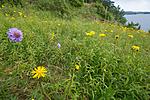 BB_20160712_0273 / Inula salicina / Krattalant <br /> Scabiosa columbaria / Bakkeknapp