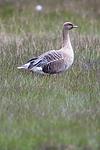 BB_20160714_0336 / Anser brachyrhynchus / Kortnebbgås