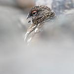 BB_20160715_0414 / Lagopus muta / Fjellrype <br /> Lagopus muta hyperborea / Svalbardrype