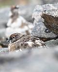 BB_20160715_0435 / Lagopus muta / Fjellrype <br /> Lagopus muta hyperborea / Svalbardrype