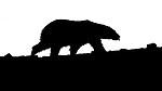 BB_20160719_0135-2 / Ursus maritimus / Isbjørn