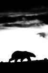 BB_20160719_0135 / Ursus maritimus / Isbjørn