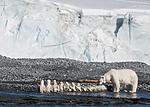 BB_20160723_0653 / Ursus maritimus / Isbjørn