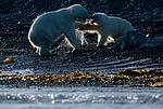 BB_20160723_0893 / Ursus maritimus / Isbjørn