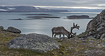 BB_20160726_0452 / Rangifer tarandus platyrhynchus / Svalbardrein