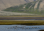BB_20160729_0028 / Branta leucopsis / Hvitkinngås