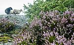 BB_20160828_0129 / Calluna vulgaris / Røsslyng <br /> Juniperus communis / Einer <br /> Ovis aries / Sau