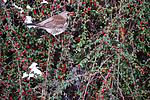 BB_20170212_0009 / Cotoneaster horizontalis / Krypmispel <br /> Turdus pilaris / Gråtrost