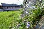 BB_20170615_0002 / Campanula rotundifolia / Blåklokke