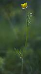 BB_20170621_0023 / Ranunculus polyanthemos / Krattsoleie