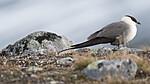 BB_20170626_0483 / Stercorarius longicaudus / Fjelljo