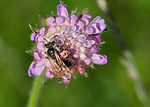 BB_20170701_0043 / Andrena hattorfiana / Rødknappsandbie <br /> Knautia arvensis / Rødknapp