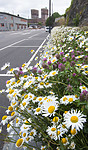 BB_20170707_0023 / Leucanthemum vulgare / Prestekrage <br /> Trifolium pratense / Rødkløver