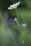 BB_20170709_0019 / Selinum carvifolia / Krusfrø