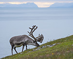 BB_20170801_1300 / Rangifer tarandus platyrhynchus / Svalbardrein
