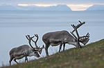 BB_20170801_1313 / Rangifer tarandus platyrhynchus / Svalbardrein