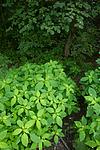 BB_20170812_0125 / Fraxinus excelsior / Ask <br /> Impatiens parviflora / Mongolspringfrø