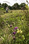 BB_20170817_0201 / Centaurea scabiosa / Fagerknoppurt <br /> Hylotelephium maximum / Smørbukk