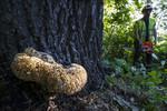 BB_20170822_0034 / Inonotus dryadeus / Tårekjuke <br /> Quercus robur / Sommereik