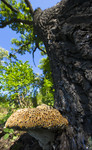 BB_20170822_0354 / Inonotus dryadeus / Tårekjuke <br /> Quercus robur / Sommereik