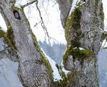 BB_20180311_0014 / Quercus robur / Sommereik <br /> Strix aluco / Kattugle