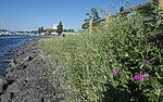 BB_20180604_0007 / Lepidium latifolium / Strandkarse <br /> Rosa rugosa / Rynkerose